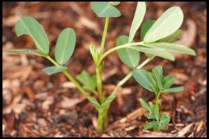 выращивание земляного ореха