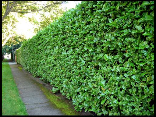 Живая изгородь в озеленении