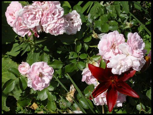 какие цветы сочетаются с розами