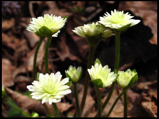 цветок гепатика