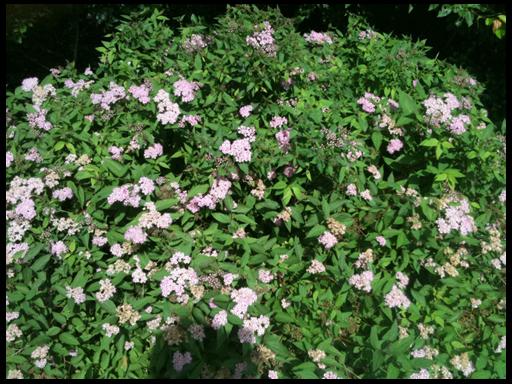 цветы дейция