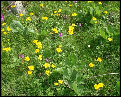 выращивание купальницы в саду