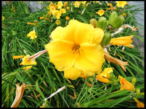 выращивание в саду лилейников