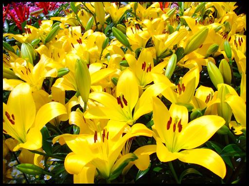 сорта лилии