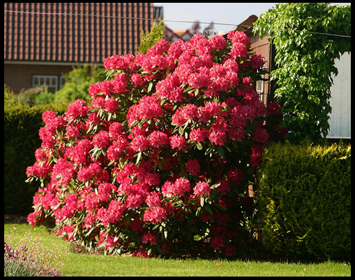 цветы рододендрон