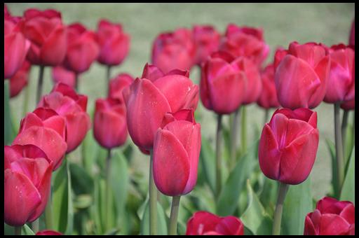 пюльпаны правило посадки: