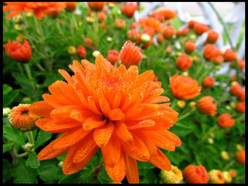 красивые хризантемы сорта