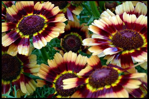 необычные хризантемы