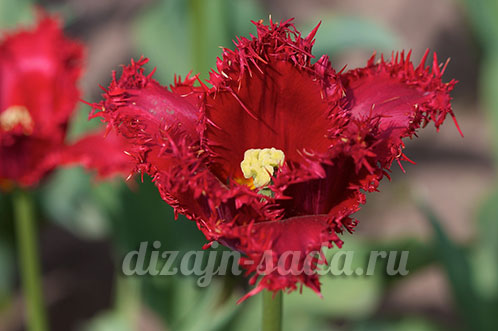 тюльпаны сорта фото