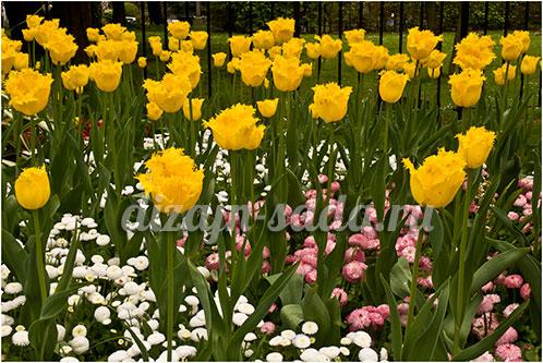 сочетание тюльпанов с цветами