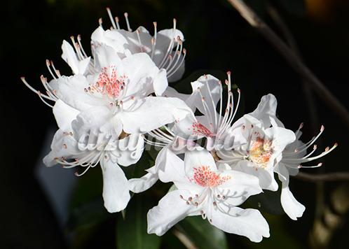 белые рододендроны