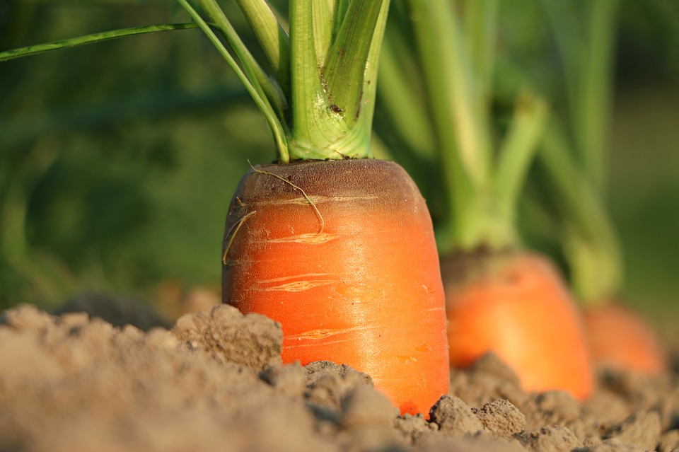 посадка моркови в 2018 году