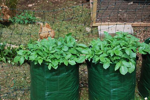 как посадить картофель в мешках