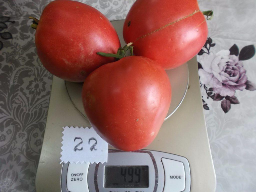 томат батяня фото отзывы