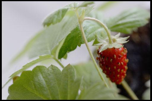 посадка земляники садовой семенами