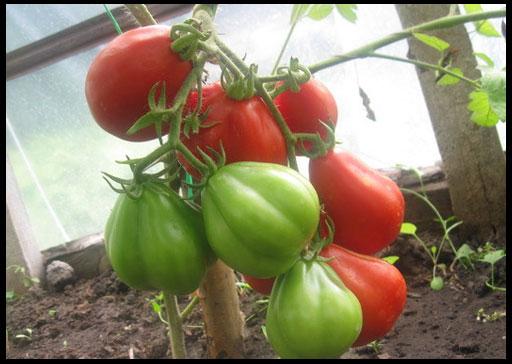кистевые помидоры для теплиц