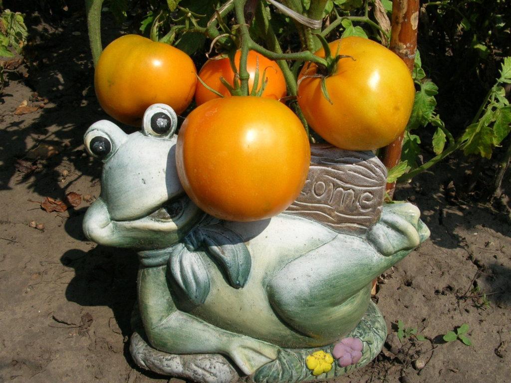 томат апельсин фото