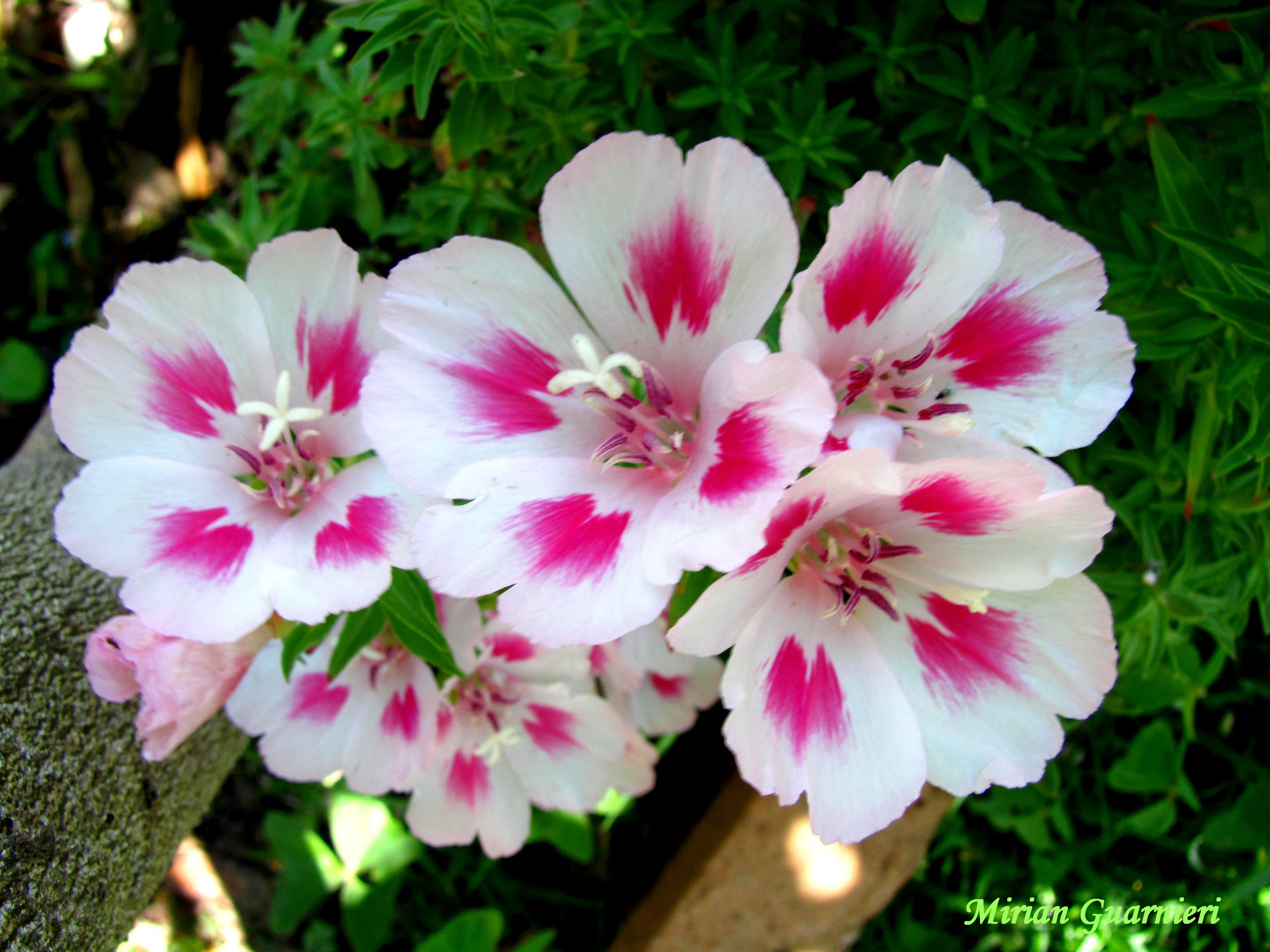 Годеция цветы