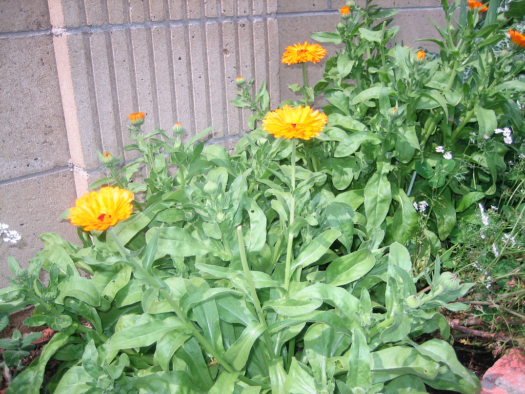 Календула цветок выращивание 3