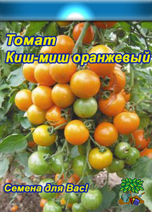 томаты-черри