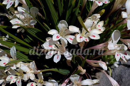 сорта бабианы