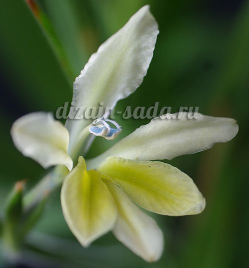 бабиана белая