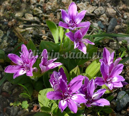 цветы бабиана фото