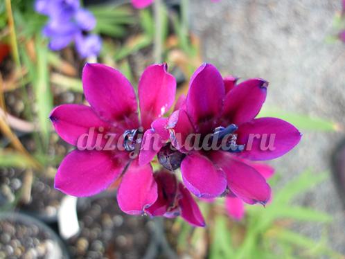 пурпурная бабиана