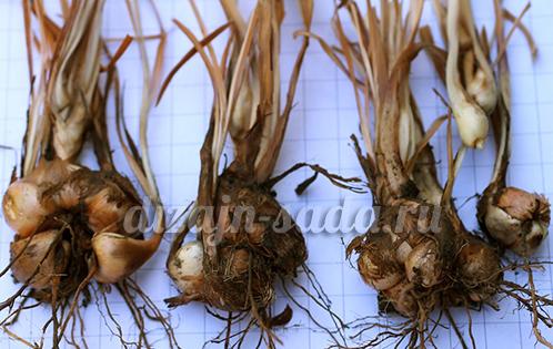 бабиана - посадочный материал