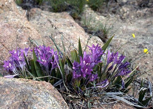цветок для альпийской горки