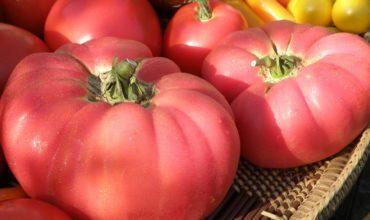 сорта помидоров для средней полосы