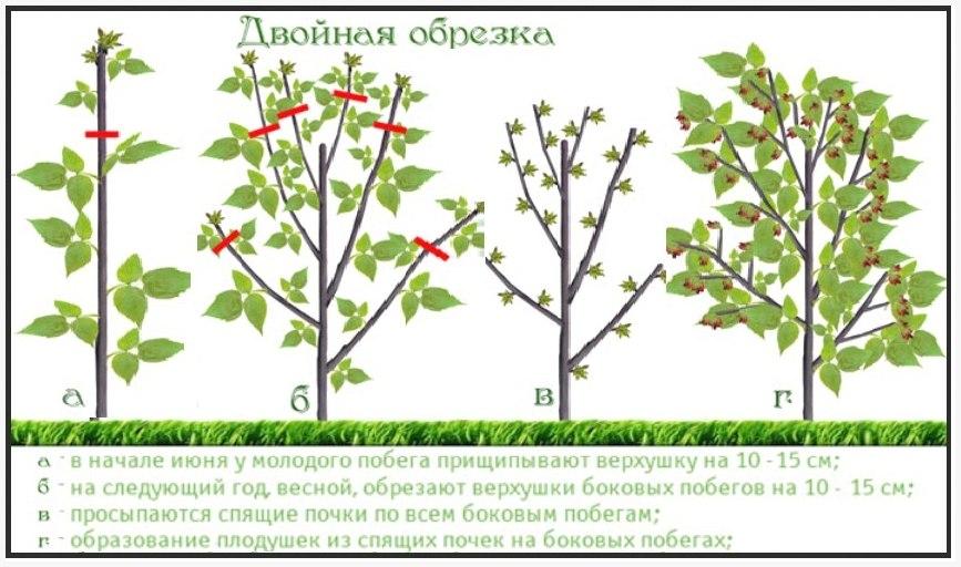 Схема обработок малины