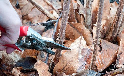 фото обрезки малины осень.