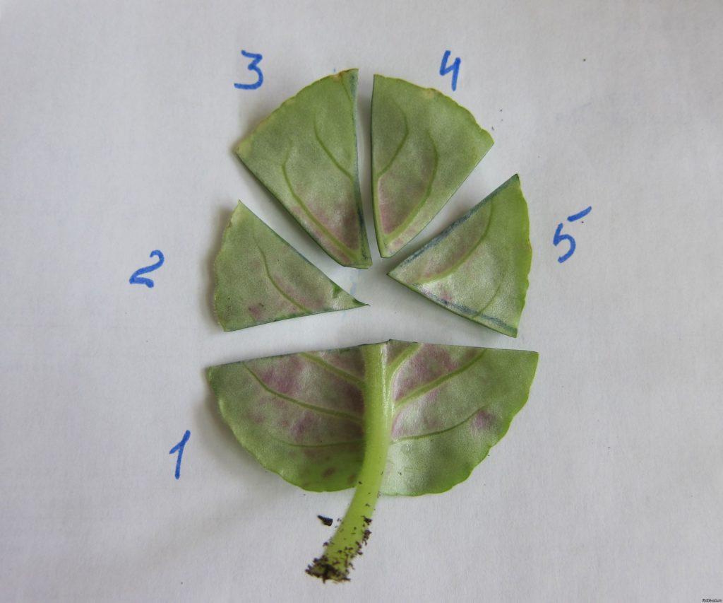 размножение фиалки листьями сегментами
