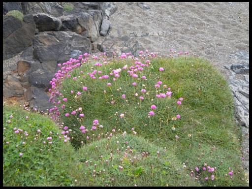 Цветы хоста уход