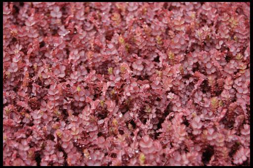 пурпурные растения для альпинария
