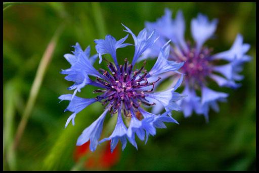 цветы василек