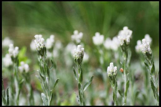 цветы на альпийскую горку