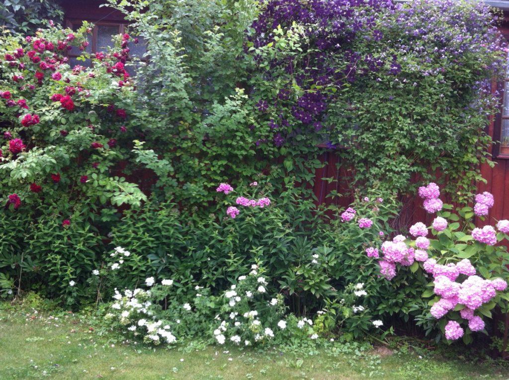 клематис и декоративные кустарники