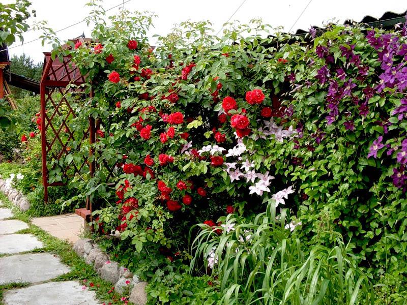сочетание клематиса и розы