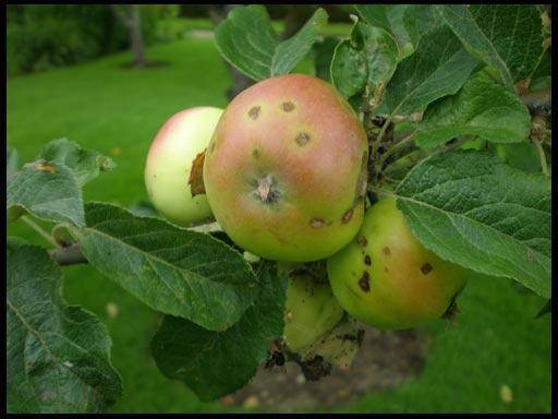 чем опрыскать яблоню