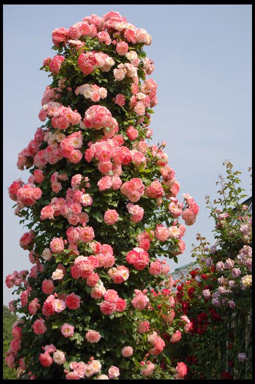 розы плетистые сорта