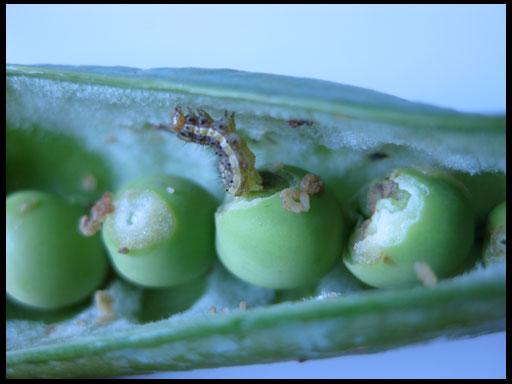 борьба с вредителями зеленого горошка