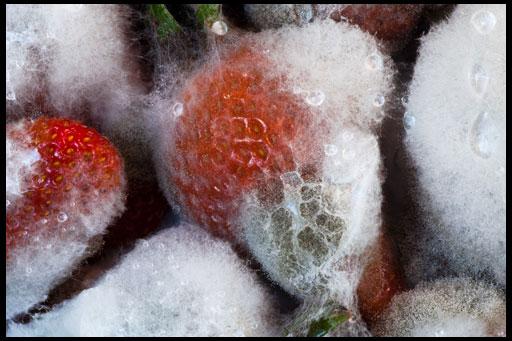 Вредители и болезни клубники садовой