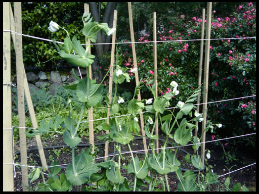 опоры для выращивания гороха