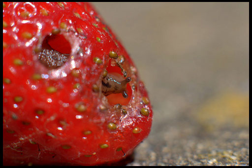 слизни едят клубнику