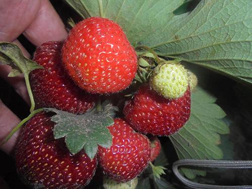 ягода эльсанта фото