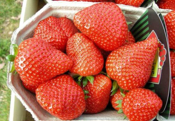 клубника элиани фото ягод спелых