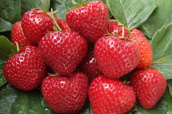 клубника сельва фото спелых ягод