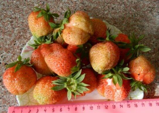 земляника ананасная фото спелых ягод